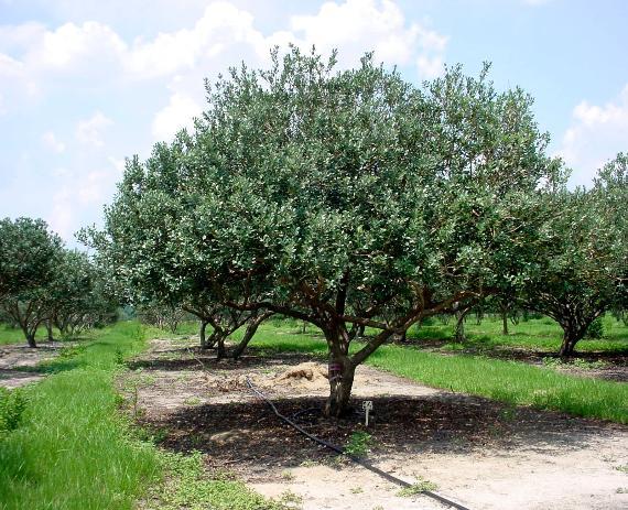 feijoa arbre - acca sellowiana - pépinière du bosc