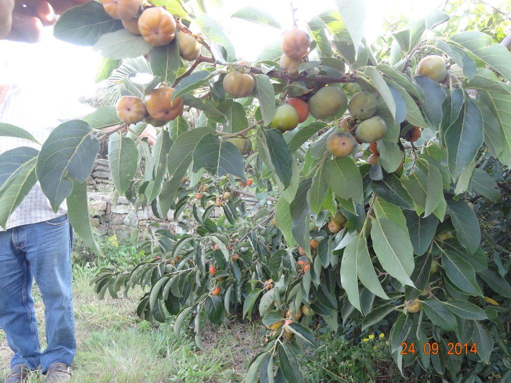 fruit Meader virginiana (diospyros virginiana) Conservatoire National de Kakis - Conservatoire des Escoubilles - Septembre 2014