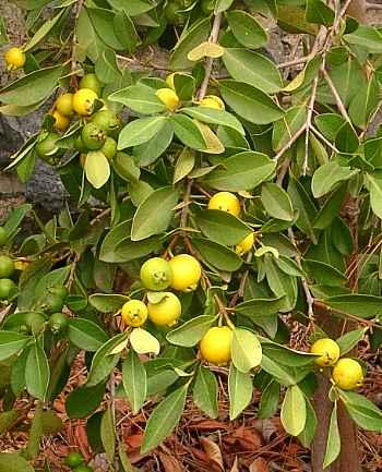goyaviers fraise à fruits jaune - psidium cathleyium - pépinière du bosc 2