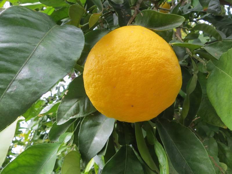ichang lemon shanguyan - pépinière du bosc 5