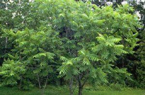 juglans ailantifolia - pépinière du bosc