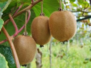 kiwi bruno - actinidia chinensis - pépinière du bosc - acheter