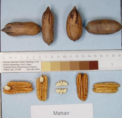 pacanier Mahan - acheter pacanier - noix de pécan - pépinière du bosc - variété acheter plant greffé