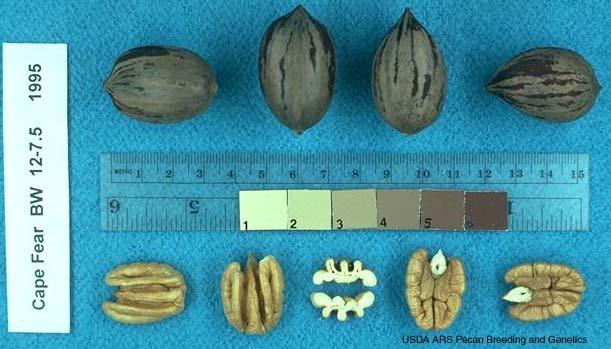 pacanier cape fear - noix de pécan - pépinière du bosc - acheter plant greffé