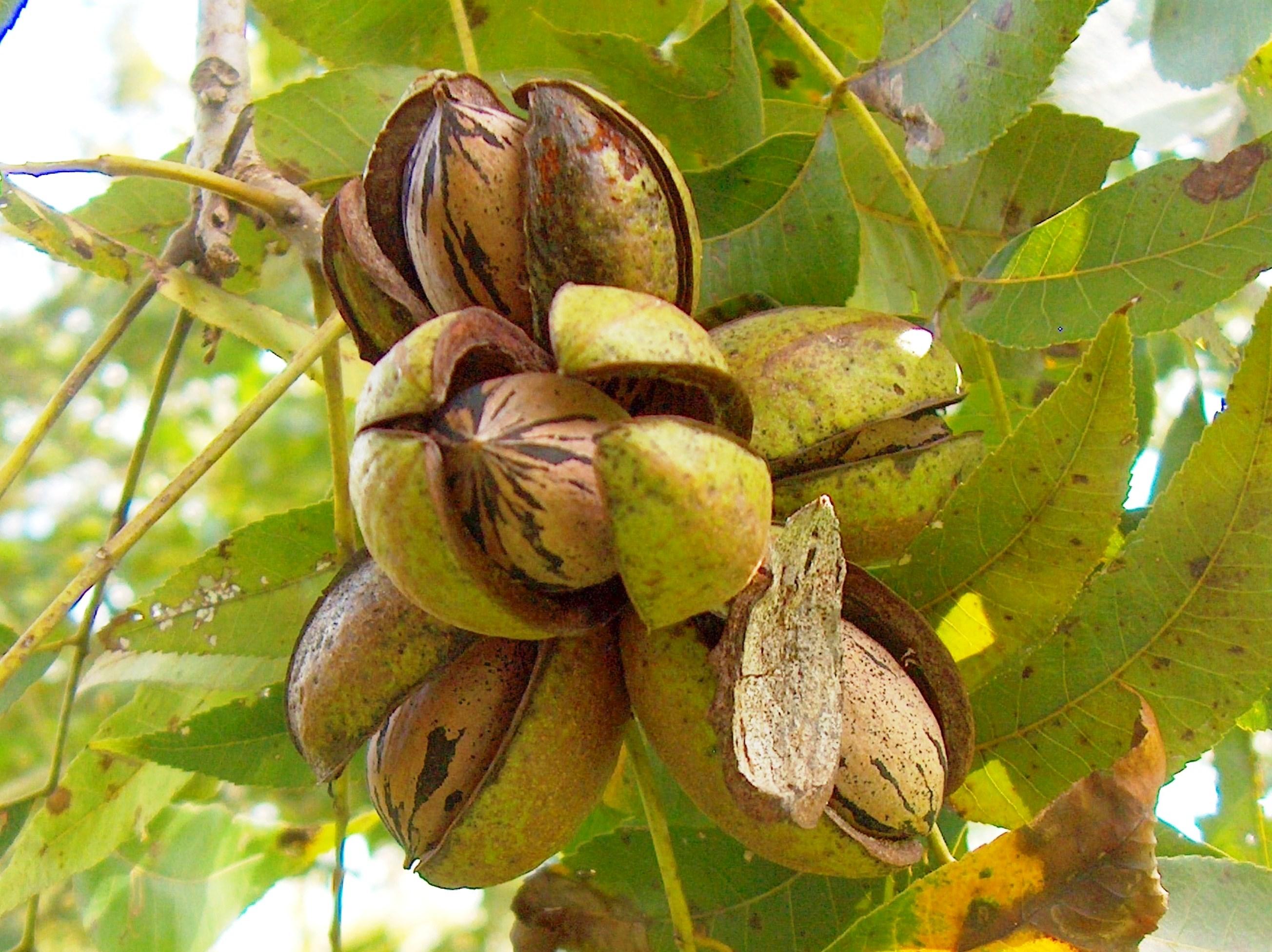 PACANIERS - Carya illinoinensis