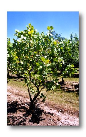 pistachier - pistaca vera - pépinière du bosc