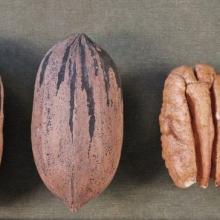 warren 346 - Pacanier - carya illinoinensis acheter pacanier - noix de pécan - pépinière du bosc - variété acheter plant greffé