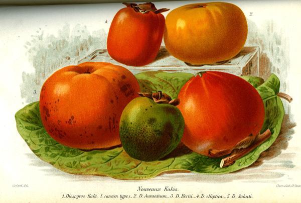 Revue Horticole de 1887 acheter kaki - plaqueminier - diospyros kaki - pépinière du bosc - acheter arbre plant variété