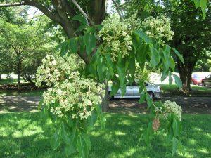 evodia-tetradium-daniellii-arbre-a-miel-pepiniere-du-bosc