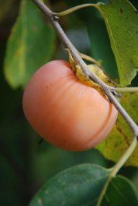 acheter kaki - plaqueminier - diospyros kaki - pépinière du bosc - acheter arbre plant variété meader virginiana