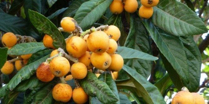 Néflier avec fruits - Pépinière du Bosc