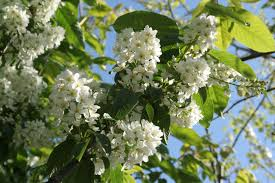 Prunus padus fleurs - Pépinière du Bosc