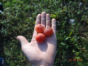 fruit PIEPER virginiana (diospyros virginiana) acheter kaki - plaqueminier - diospyros kaki - pépinière du bosc - acheter arbre plant variété pieper