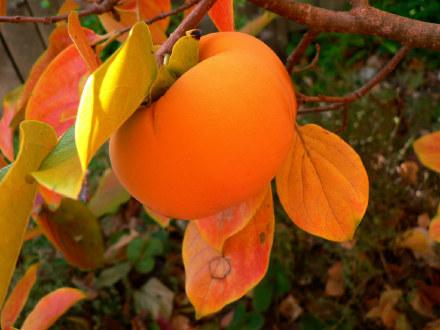 kaki Fuyu - diospyros kaki fuyu - pépinière du bosc - acheter kaki - plaqueminier - diospyros kaki - pépinière du bosc - acheter arbre plant variété