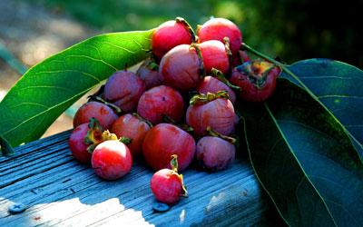 kaki de virginie - diospyros virginiana - pépinière du bosc - acheter kaki - plaqueminier - diospyros kaki - pépinière du bosc - acheter arbre plant