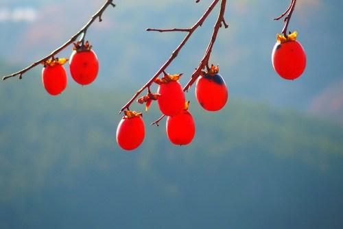 acheter kaki - plaqueminier - diospyros kaki - pépinière du bosc - acheter arbre plant