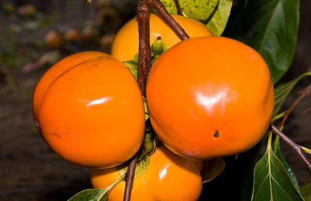 kaki hana fuyu - diospyros kaki hana fuyu - pépinière du bosc - acheter kaki - plaqueminier - diospyros kaki - pépinière du bosc - acheter arbre plant variété