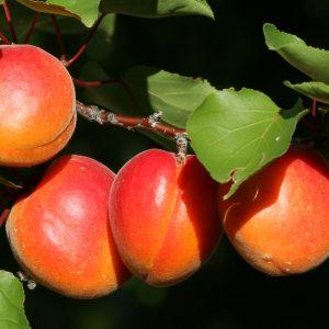 ABRICOTIERS - Prunus armeniaca