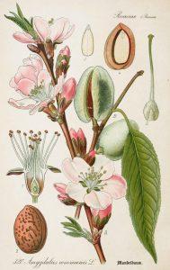 amandier lauranne - prunus amygdalus - pépinière du bosc - acheter