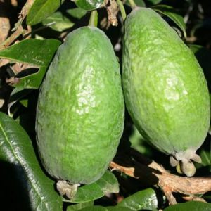 FEIJOAS - acca sellowiana