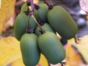 kiwai - actinidia arguta - vitikiwi - pépinière du bosc - acheter