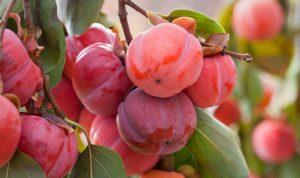 acheter kaki - plaqueminier - diospyros kaki - pépinière du bosc - acheter arbre plant variété honan red