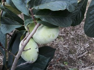 Mango - asiminier - asimina triloba - pépinière du bosc - acheter