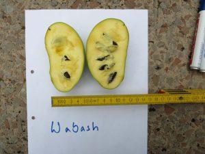 asiminier - asimina triloba - pépinière du bosc - acheter - wabash