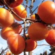 acheter kaki - plaqueminier - diospyros kaki - pépinière du bosc - acheter arbre plant variété russian beauty