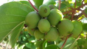 kiwai - actinidia arguta - ANANASNAYA - pépinière du bosc - acheter
