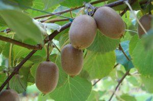 kiwi - actinidia chinensis - kiwi jaune - Jinfeng - JINFENG - pépinière du bosc - acheter