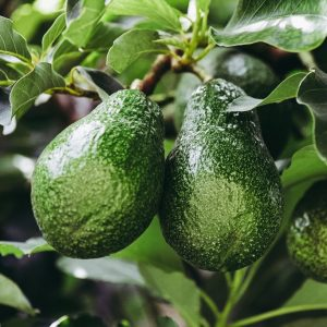 AVOCATIERS - persea americana