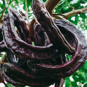 CAROUBIERS - ceratonia siliqua