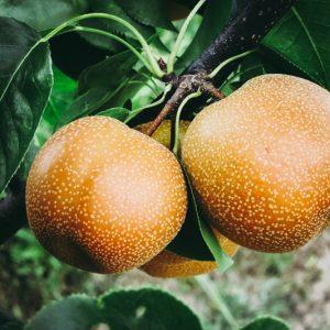 NASHIS pyrus pyrifolia