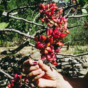PISTACHIERS - pistaca vera