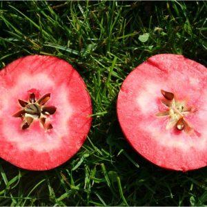 pommier pomme à chair rouge